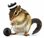 stock photo of chipmunks  - Funny criminal chipmunk in prison hat isolated on white - JPG