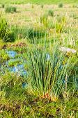 Details Of Rushes In Wetlands