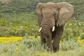 stock photo of gentle giant  - Large africal elephant eating in a field of yellow flowers - JPG