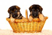 German shepherd`s dog puppys