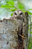 stock photo of screech-owl  - The Bare-legged Owl or Cuban Screech Owl (Gymnoglaux lawrencii) at a nest on a tree