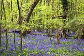 stock photo of harebell  - Beautiful carpet of bluebell flowers in Spring forest landscape