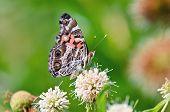 American Painted Lady butterfly (Vanessa virginiensis)