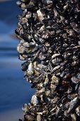 Mussels on Pier