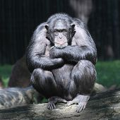Worried Chimpanzee.