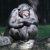stock photo of cognitive  - Smiling happy Chimpanzee - JPG