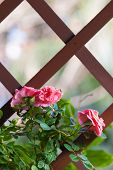 image of climbing rose  - some beautiful climbing roses hanging on a wooden bower - JPG