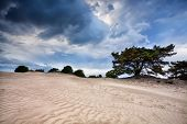 stock photo of windy weather  - pine tree and sand texture at windy stormy weather Appelscha Netherlands - JPG