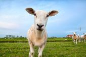 stock photo of pastures  - cute funny sheep on summer pastoral close up - JPG