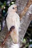 picture of bribie  - Cockatoo photographed at Bribie island Queensland australia 08 - JPG