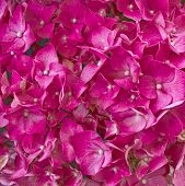 purple Hortensia floral background