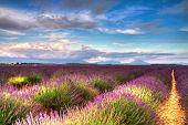 stock photo of plateau  - Lavender fields on the Valensole plateau Provence France - JPG