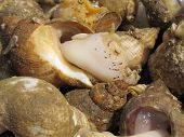 stock photo of whelk  - A close up image showing Freshly caught Whelks - JPG
