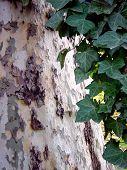 Tree W/ Ivy