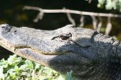 pic of crocodilian  - a picture of an alligator in the sun - JPG