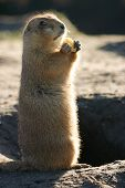 Prairiedog Standing And Eating