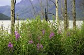 Wild flowers Alaska