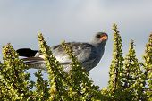 image of goshawk  - Goshawk bird of prey perched on top of a spekboom bush - JPG
