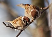 stock photo of mountain-ash  - The bird sparrow sits on a mountain ash branch in winter day - JPG