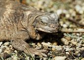 pic of monitor lizard  - Close  - JPG