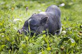 Black Piggy