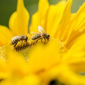foto of pollen  - Two honey bees Apis mellifera foraging for nectar and pollen on a yellow sunflower of importance in the production of honey as well as being critical to agriculture for the pollination of the crops - JPG