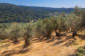 Olive Plantation Tuscany