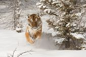 stock photo of tigress  - Rare adult male Siberian Tiger running in snow - JPG