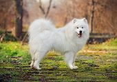 Beautiful Samoyed