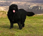 stock photo of newfoundland puppy  - Wet  black beautiful Newfoundland on green meadow - JPG
