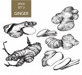 Ginger Root Illustrations