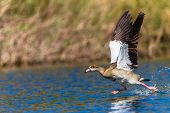 Geese Take-Off
