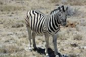 Mountain Zebra