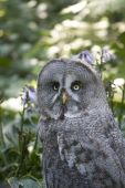 Great Gray Owl In Close Up