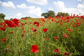 picture of land-mass  - A mass of beautiful red poppies in a meadow against a blue sky