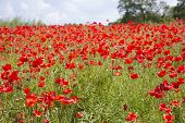 stock photo of land-mass  - A mass of beautiful red poppies in a meadow against a blue sky - JPG