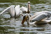 White Pelicans In Pond In Zoo