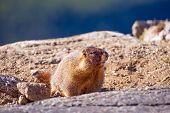 pic of marmot  - Yellow - JPG