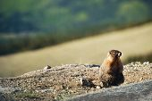 picture of marmot  - Little Colorado Rocky Mountains Marmot in Early Summer - JPG