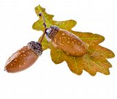 acorns oak with water drops isolated on white background