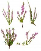 set of heather with light pink flowers isolated on white background