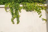 stock photo of climber plant  - ivy leaves isolated on a white wall - JPG