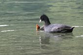 a coot feeds her chick