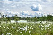 image of marshlands  - Summer landscape with cotton grass on swamp and river at distance - JPG