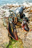 foto of lobster tail  - A Live Lobster Washed on a Rocky Beach - JPG