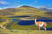 Dreamland Patagonia. Blue water grassy lake, on  hill stands beautiful guanaco. National Park Torres