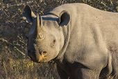 Black rhino in the wild 2