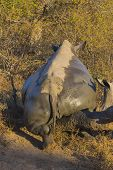 White rhino scratching after mud bath