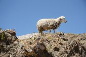 stock photo of the lost sheep  - Sheep on the top of the mountain of Andes