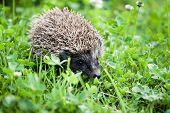 hedgehog walking in garden